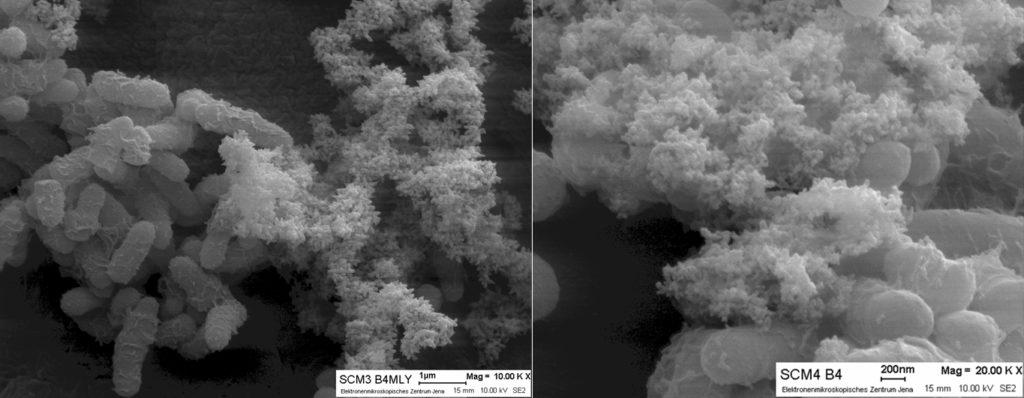 Rasterelektronenmikroskopie von Zellaggregaten und extrazellulärer polymerer Substanz (EPS) der Isolate Arthrobacter sulfonivorans SCM3 und Rhodococcus globerulus SCM4